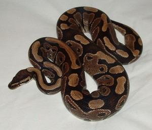A ball python. Photo courtesy of Wikimedia Commons.
